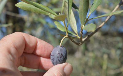 Huile d'olive française, découvrez le domaine chateau virant